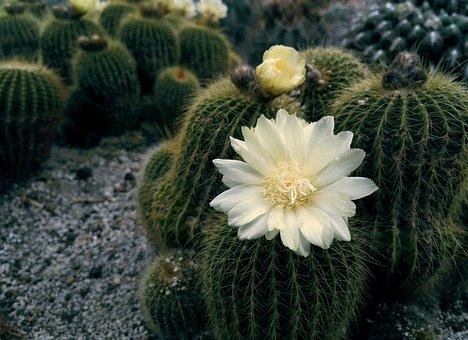 Flower, Cactus, Summer