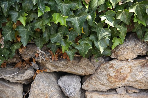 Ivy, Dry Stone Wall, Stone Wall, Climber, Structure