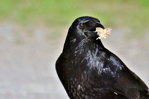 Raven, Raven Bird, Crow, Bird, Bill, Carrion Crow