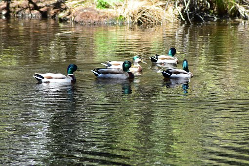 Ducks, Pond, Nature, Lake, Water, Wildlife, Mallard