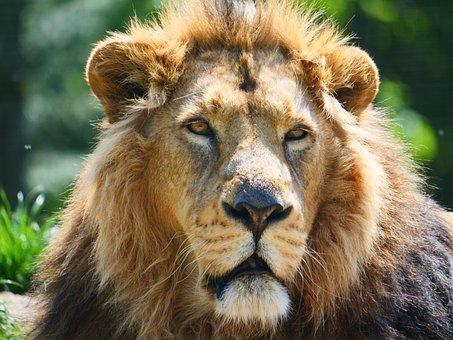 Lion, Big Cat, Animal, Wildlife, Predator, Feline