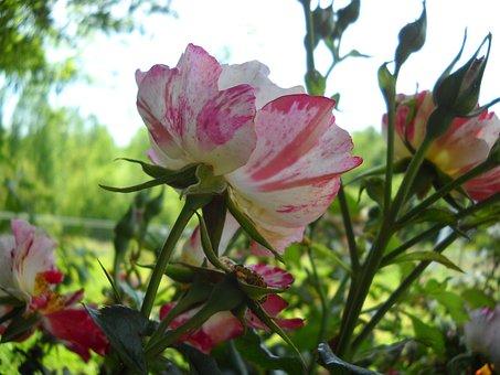 Rose, Striped, Flower, Nature, Petal, Translucent