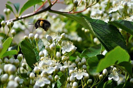 Bumblebee, Fly, Flowers, Garden, Bug, Nature, Spring