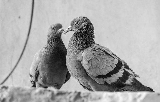 Bird, Pigeon, Cute, Dove, Sky, Fly, Feather, Couple