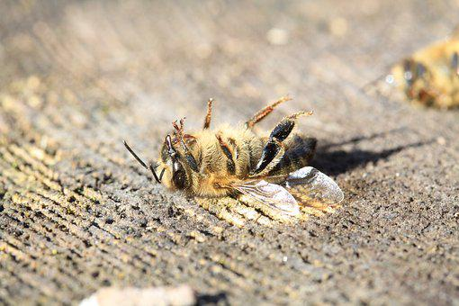 Bee, Dead, Pesticide, Varoa, Warming, Forage, Insects