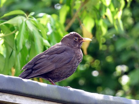 Blackbird, Bird, Nature, Animal, Black, Bill, Garden