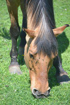 Horse, Brown, Hair, Grazing