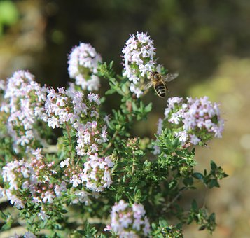 Thyme, Thyme In Flower, Insect, Bee, Flowering