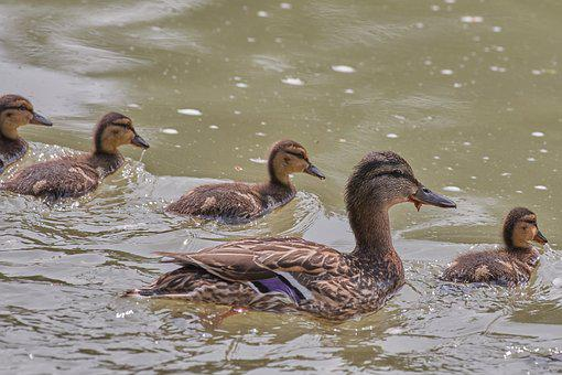 Ducks, Young Animal, Water, Water Bird, Lake, Drake