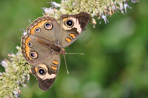 Butterfly, Butterfly Bush, Summer, Brown, Purple, Moth