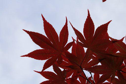 Autumn Leaves, Red, Plants, Nature, The Leaves, Leaf