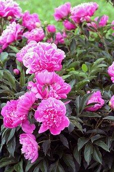 Massif, Peonies, Flower, Nature, Botanical Garden