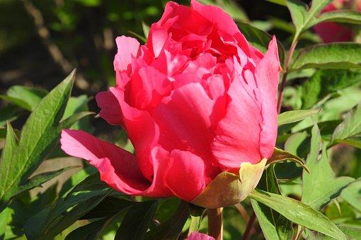 Peony, Flower, Garden, Spring, Plants, Nature, Plant