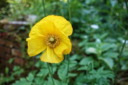 Poppy, Papaver, Flower, Plant, Blossom, Blooming, Opium