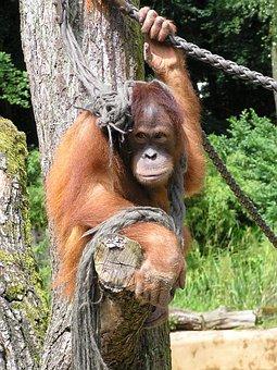 Monkey, Orang Utan, Mammal, Nature, Cute, Primates