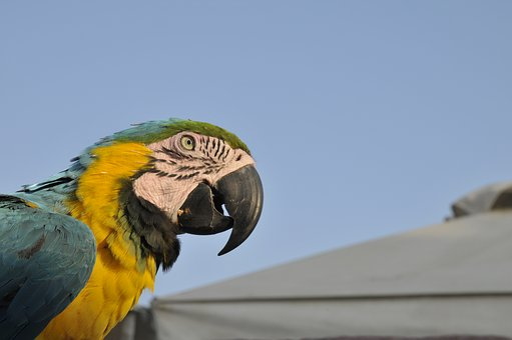 Parrot, Ierapetra