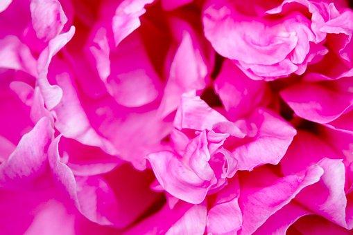 Peony, Flower