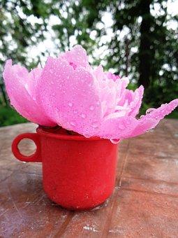 Flower, Peony, Pink Peony, Rosa