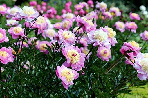 Peonies, Flowers, Bloom, Pink Flower
