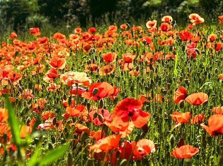 Poppy, Poppy Flower, Field Of Poppies, Red, Klatschmohn