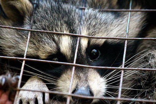 Raccoon, Procyon Lotor, Raccoon Gargle, Mammal, Animals