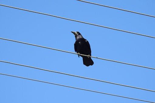 Raven, Crow, High Voltage Wires, Transmission Line