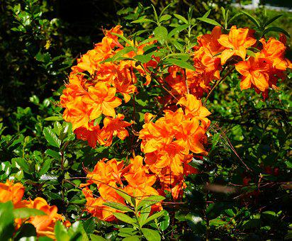 Rhododendron, Flowers, Orange, Bush, Bright, Close