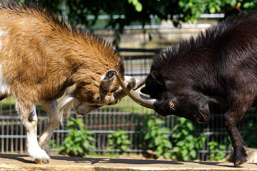 Goats, Bock, Antler, Horns, Fight, Play, Romp