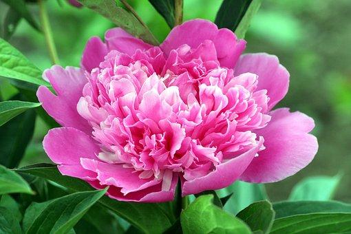 Peony, Flower, Pink, Leaves, Petals, Spring-flowering