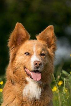 Dog, Portrait, Tongue, Animal, Meadow