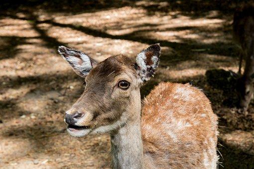 Damm Wild, Red Deer, Mammal, Animal World, Wild Animal