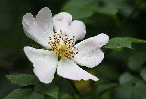 Flower, Forest, Rose Hips, Nature, Wild Flower