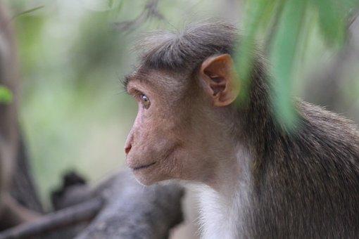 Monkey, Animal, Wild, Wildlife, Nature, Mammal, Jungle