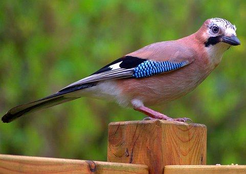 Jay, Bird, Nature, Wild, Animal, Wildlife, Feather
