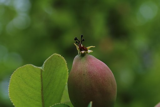 Fruit, Wood, Chinese Quince, Nature