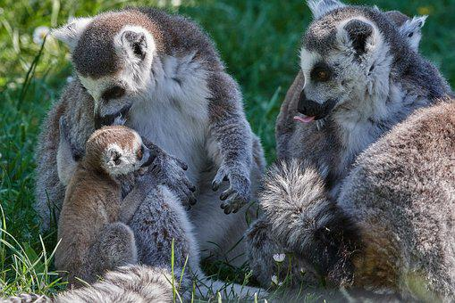 Lemur, Ape, Young Animal, Mother, Madagascar