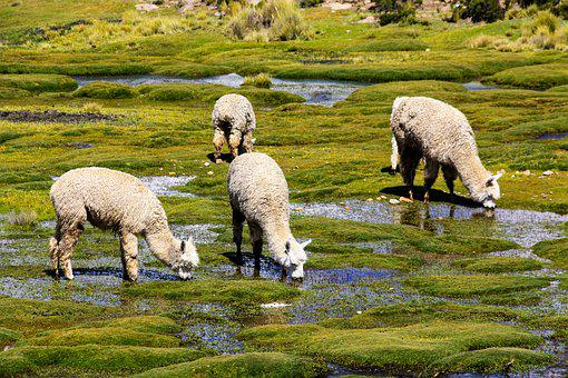 Alpacas, Flock, Altiplano, Andes, Graze, Camels, Fluffy