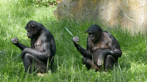 Ape, Enclosure, Animal World, Play, Threatened