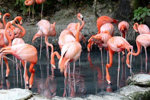 Flamingo, Phoenicopterus Roseus, Nature, Birds