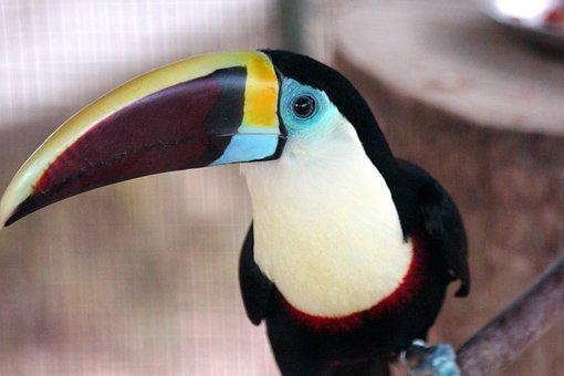 Toucan, Bird, Black Toucan