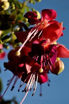 Fuchsia, Flower, Beauty, Colorful, Plant, Garden, Bloom