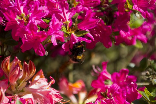 Animal, Hummel, Blossom, Bloom, Insect