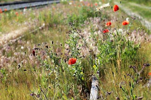 Red Poppy Near Abandoned Railway, Spring, Bloom