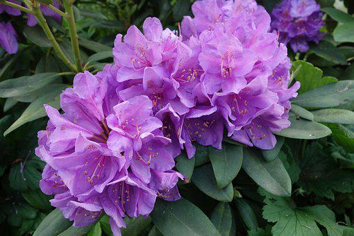 Rhododendron, Purple, Garden, Blossom, Bloom