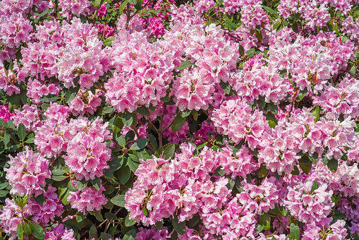 Rhododendrons, Plant, Blossom, Bloom, Nature, Flowers