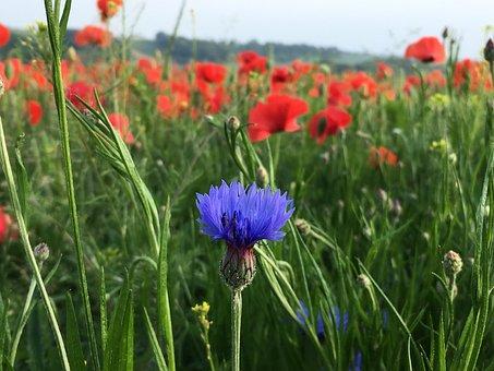 Cornflower Blue, Blossom, Bloom, Flower, Blue, Plant