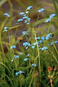 Flower, Blue, Forget-me-not, Spring, Plant