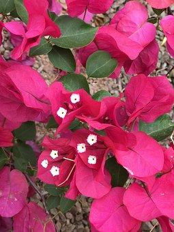 Pink, Flower, Bougainvillea, Nature, Floral, Plant