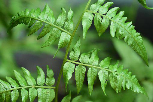 Fern, Green Leaves, Foliage, Greenery, Branch, Wild