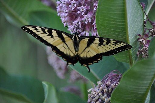 Butterfly, Butterfly Bush, Purple, Yellow, Stripe